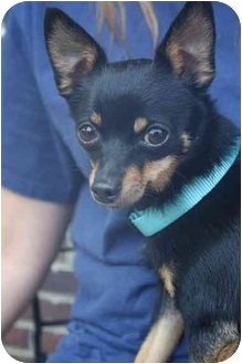 Chihuahua Dog for adoption in Windham, New Hampshire - Peanut