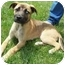 Photo 2 - German Shepherd Dog/Great Dane Mix Puppy for adoption in North Judson, Indiana - Saphire