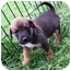 Photo 3 - Boxer/Collie Mix Puppy for adoption in Ile-Perrot, Quebec - Daisy