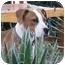 Photo 1 - Boxer/Labrador Retriever Mix Puppy for adoption in Poway, California - Boo Girl