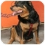 Photo 1 - Rottweiler Dog for adoption in Long Beach, New York - minnie