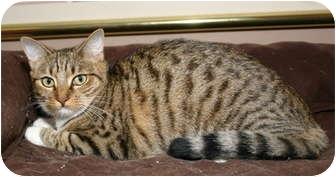 Domestic Shorthair Cat for adoption in Winston-Salem, North Carolina - Zoe