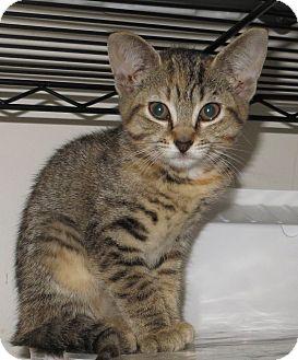 Domestic Shorthair Kitten for adoption in Catasauqua, Pennsylvania - Holly