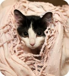 Domestic Shorthair Cat for adoption in Cleveland, Ohio - Dewey