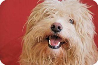 Poodle (Miniature) Mix Dog for adoption in Philadelphia, Pennsylvania - Pogo/Sandy
