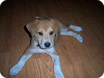 Labrador Retriever/Hound (Unknown Type) Mix Puppy for adoption in Largo, Florida - Apollo