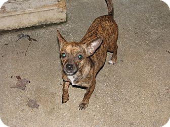 Chihuahua Mix Dog for adoption in maryville, Tennessee - Little Girl