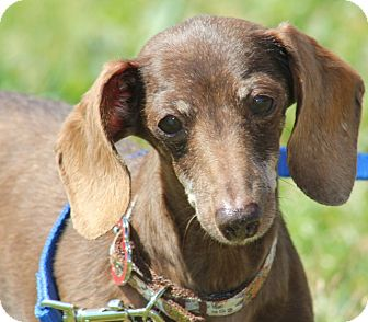 Dachshund Mix Dog for adoption in Grants Pass, Oregon - Roxy