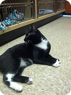 Domestic Shorthair Cat for adoption in Smithfield, North Carolina - Cecilia