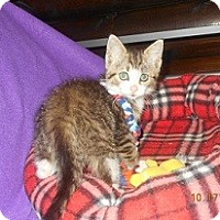 Adopt A Pet :: Pebbles - Wellington, OH