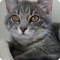 Adopt A Pet :: Tiger Lily - San Rafael, CA