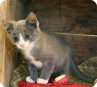 Domestic Shorthair Cat for adoption in Germantown, Maryland - Simba