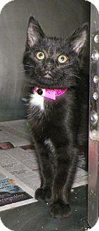 Domestic Shorthair Kitten for adoption in Dover, Ohio - Pickles