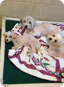 Terrier (Unknown Type, Small)/Poodle (Miniature) Mix Dog for adoption in Greensburg, Pennsylvania - Ruby