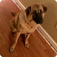 Adopt A Pet :: O'dell - Hagerstown, MD