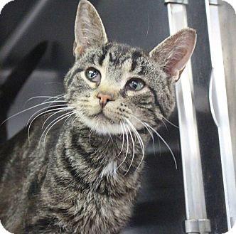Domestic Mediumhair Cat for adoption in Manitowoc, Wisconsin - Derek