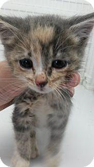 Domestic Shorthair Kitten for adoption in Douglas, Wyoming - Princess