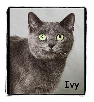 Domestic Shorthair Cat for adoption in Warren, Pennsylvania - Ivy
