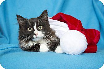Maine Coon Kitten for adoption in Nashville, Tennessee - Joy