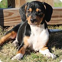 Adopt A Pet :: Crimson - Alexandria, VA