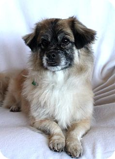 Tibetan Spaniel Mix Dog for adoption in Wichita, Kansas - Jet