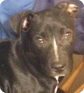 Staffordshire Bull Terrier Mix Puppy for adoption in Cincinnati, Ohio - Duke