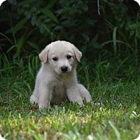 Adopt A Pet :: Carina - South Dennis, MA