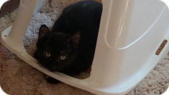 Domestic Shorthair Kitten for adoption in Salem, Oregon - Willy
