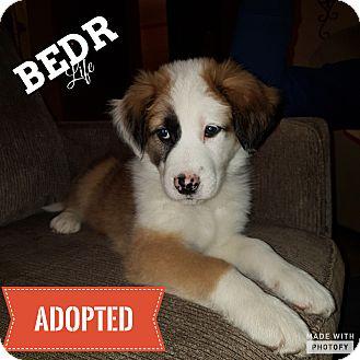 Mastiff/St. Bernard Mix Puppy for adoption in Regina, Saskatchewan - Rupert