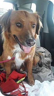 Nova Scotia Duck-Tolling Retriever/Golden Retriever Mix Dog for adoption in Staunton, Virginia - Buddy