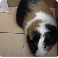 Adopt A Pet :: *Urgent* Trixie - Fullerton, CA