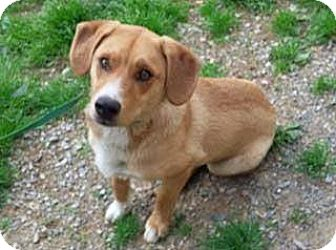 Hound (Unknown Type) Mix Dog for adoption in Woodbridge, Virginia - John Wayne