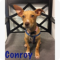 Adopt A Pet :: Conroy - Thousand Oaks, CA