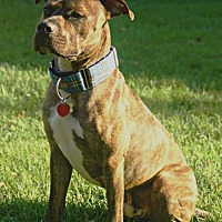 American Pit Bull Terrier Dog for adoption in Kansas City, Missouri - Daltrey