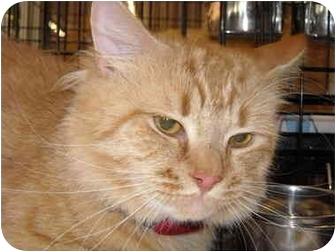 Domestic Mediumhair Cat for adoption in Riverside, Rhode Island - Rusty