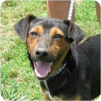 Manchester Terrier/Feist Mix Dog for adoption in Fairmount, Georgia - Scrappy