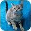 Photo 2 - Domestic Shorthair Kitten for adoption in Honesdale, Pennsylvania - Sahara