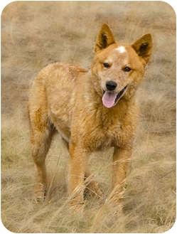 Australian Cattle Dog Dog for adoption in Crumpler, North Carolina - Vinny