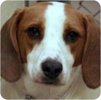 Treeing Walker Coonhound Mix Dog for adoption in Atlanta, Georgia - Tanner