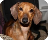 Dachshund Dog for adoption in Allentown, Pennsylvania - Rose
