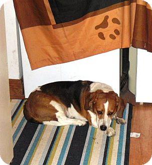 Beagle Mix Dog for adoption in Treton, Ontario - Copper