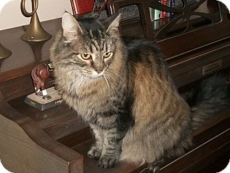 Domestic Longhair Cat for adoption in Martinsville, Indiana - Gabby