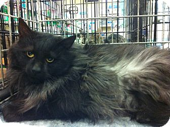 Maine Coon Cat for adoption in Pittstown, New Jersey - Taylor