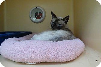 Siamese Cat for adoption in Elyria, Ohio - Daisy