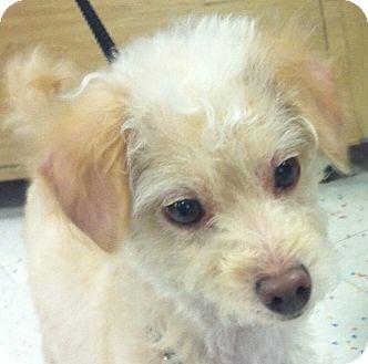 Maltese/Poodle (Miniature) Mix Dog for adoption in Bridgewater, New Jersey - Sammy