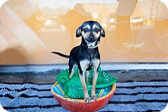 Chihuahua Mix Dog for adoption in Shawnee Mission, Kansas - Ginger