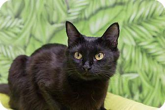 Domestic Mediumhair Cat for adoption in Lowell, Massachusetts - Pepper