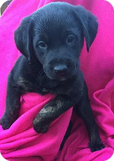 Basset Hound/Golden Retriever Mix Puppy for adoption in Brookeville, Maryland - Logan