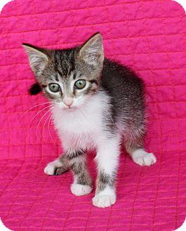 Domestic Shorthair Kitten for adoption in Mayflower, Arkansas - Jamie
