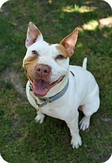 American Staffordshire Terrier/Bull Terrier Mix Dog for adoption in Cherry Hill, New Jersey - Stitch